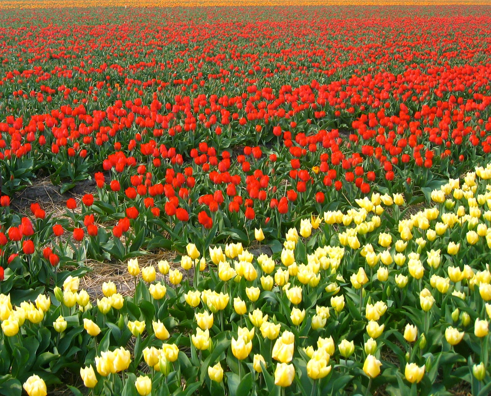 byHaafner, tulip field, The Netherlands