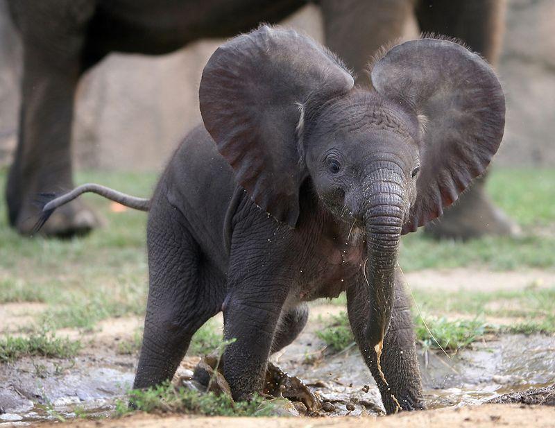 Comel Anak Gajah Telinga Capang Gambar Gm Santai