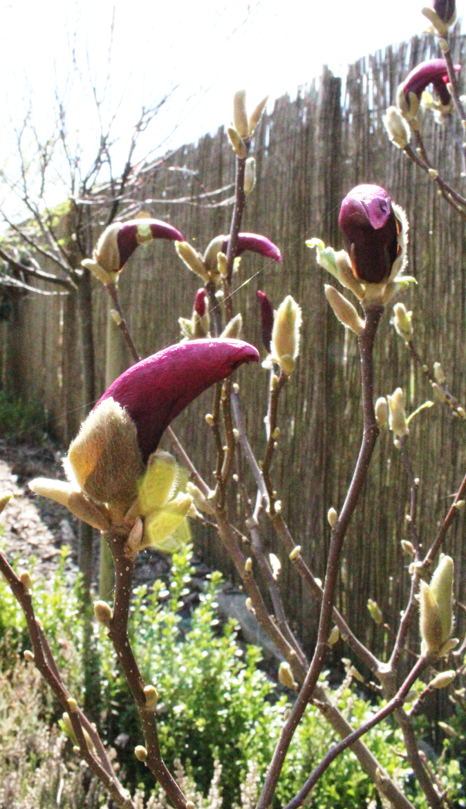 magnolia,kwiaty magnolii kolor zapach,jaka magnolia jest mrozoodporna,fioletowe wielkie kwiaty magnolii,ogró szczecin,pięknmy ogród,jak urządzić ogród DIY,blg wnętrza ogród DIY
