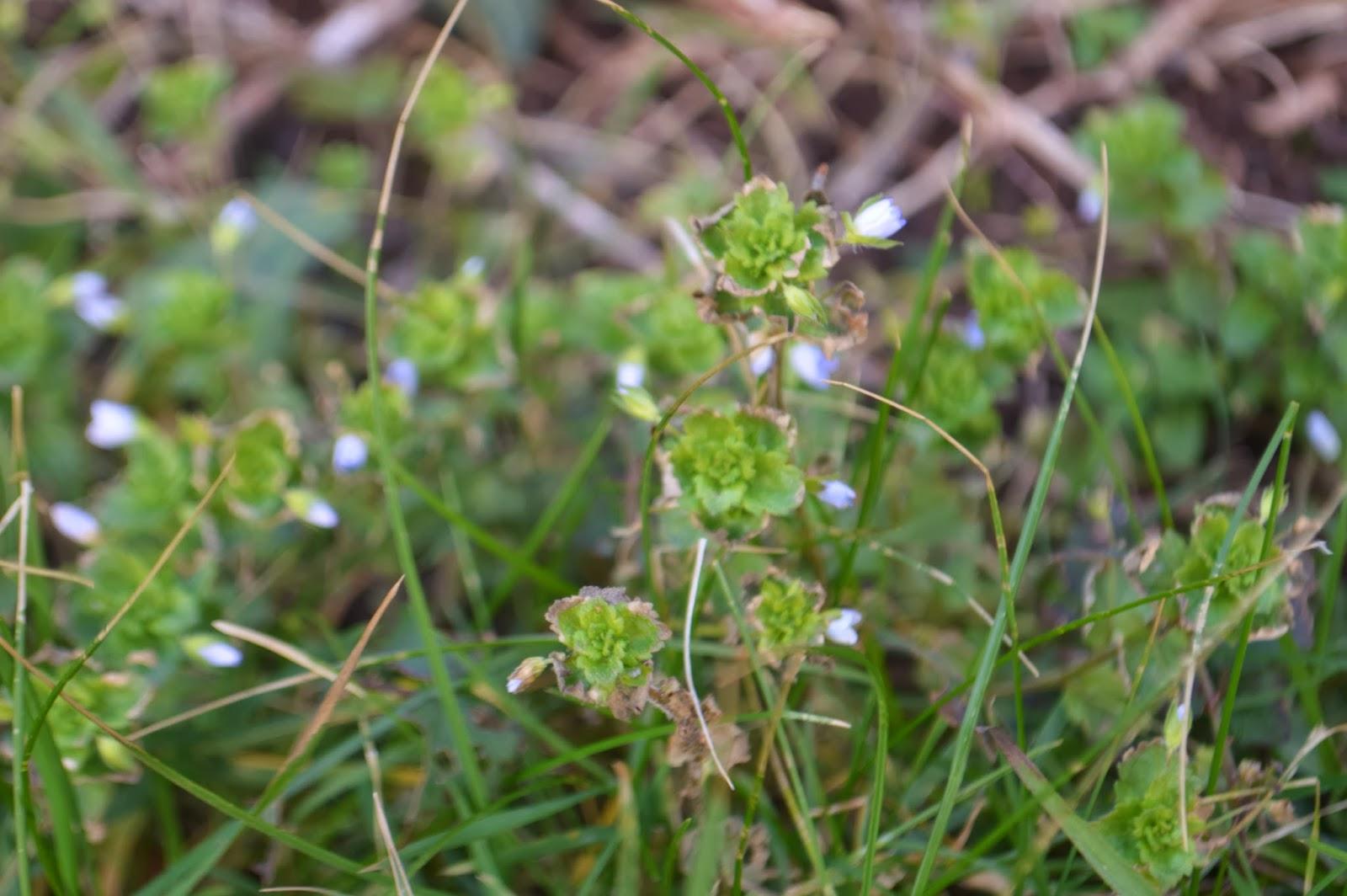 weed flower garden Hakin Pembrokeshire Wales