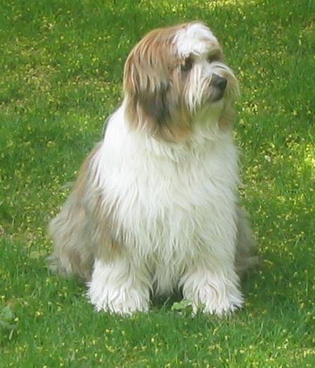 Tibetan Terrier Dog Breeders Profiles | Dog Breeders ...