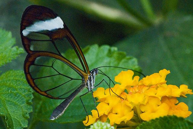 قمة الجمال في الفراشة ذات الأجنحة الزجاجية 5.jpg