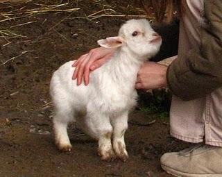 R Goats Good Pets The Pet Parade:...