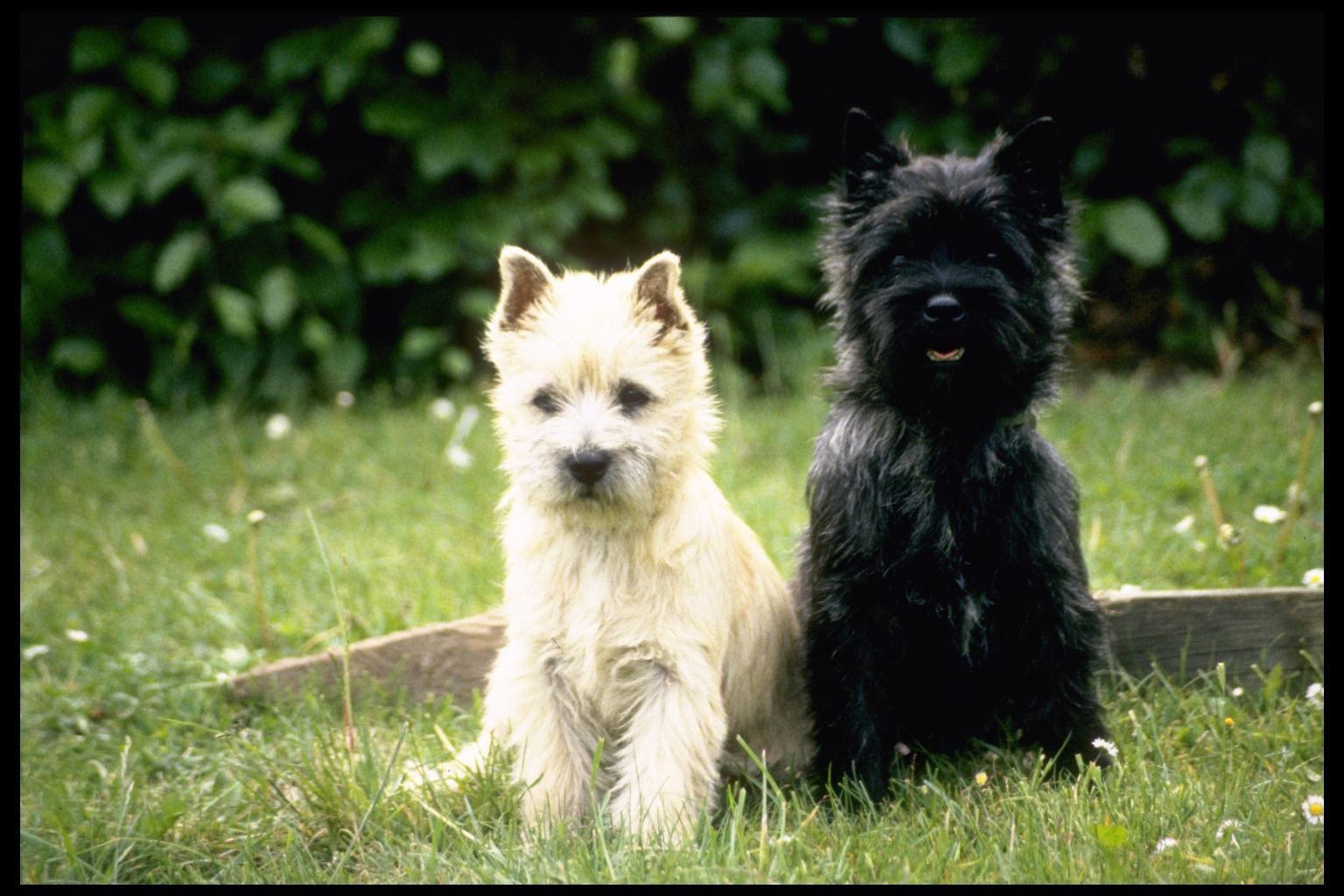 White Cairn Terrier Puppy Gallery of Cairn Terri...