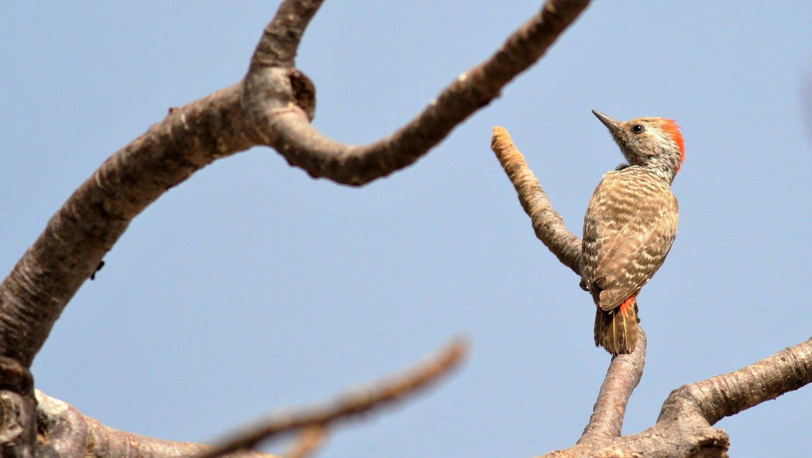 En-tête: (petit) Pic gris (dendropicos elachus, little grey/sahelian woodpecker)