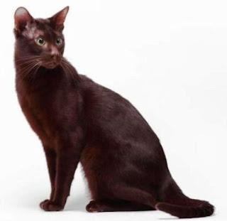 Gambar Kucing Havana Brown