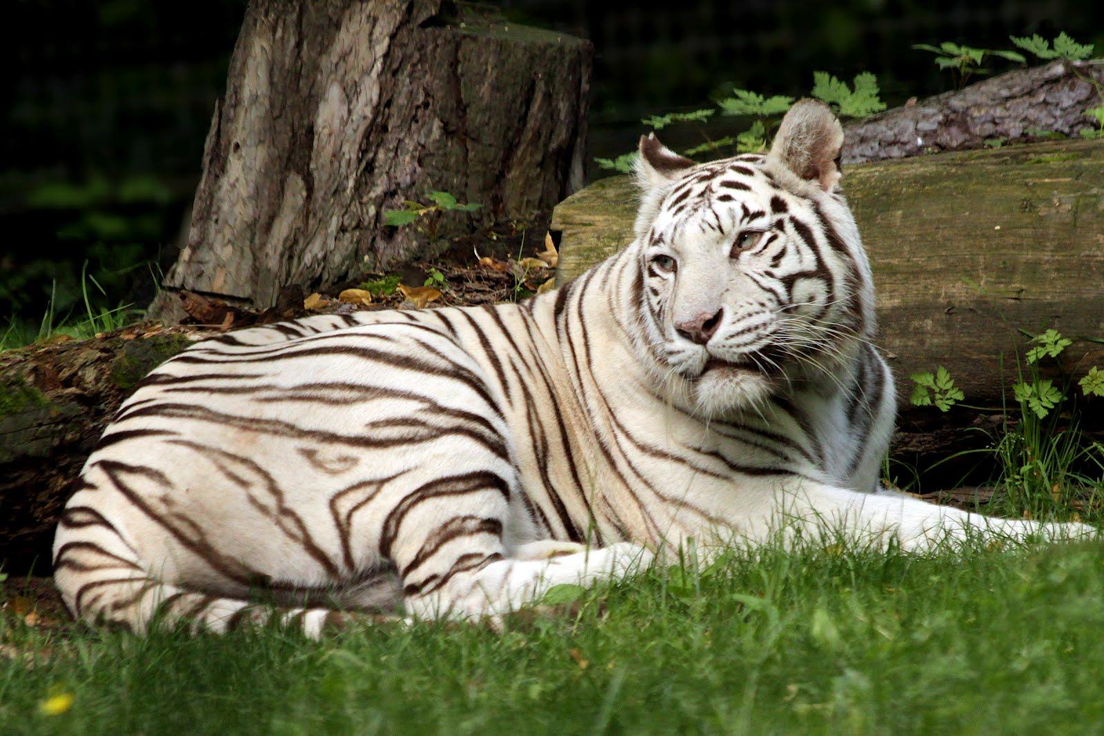 Photo club mist tigre blanc beauval - Photo de tigre blanc a imprimer ...