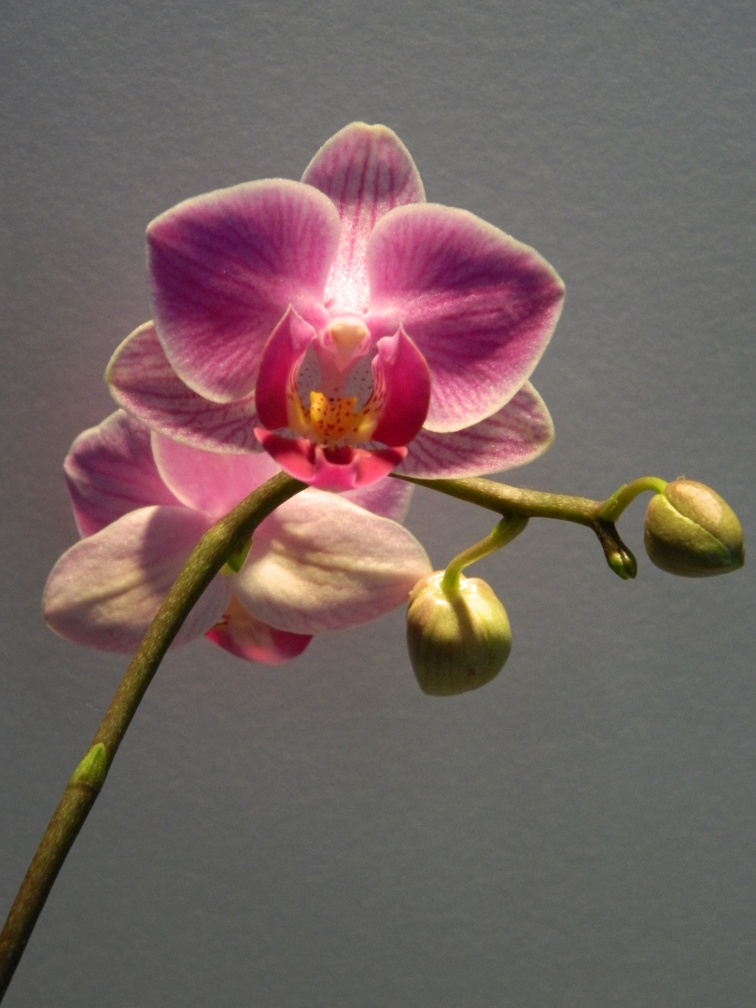 Phalaenopsis moth orchid blooms by garden muses: a Toronto gardening blog