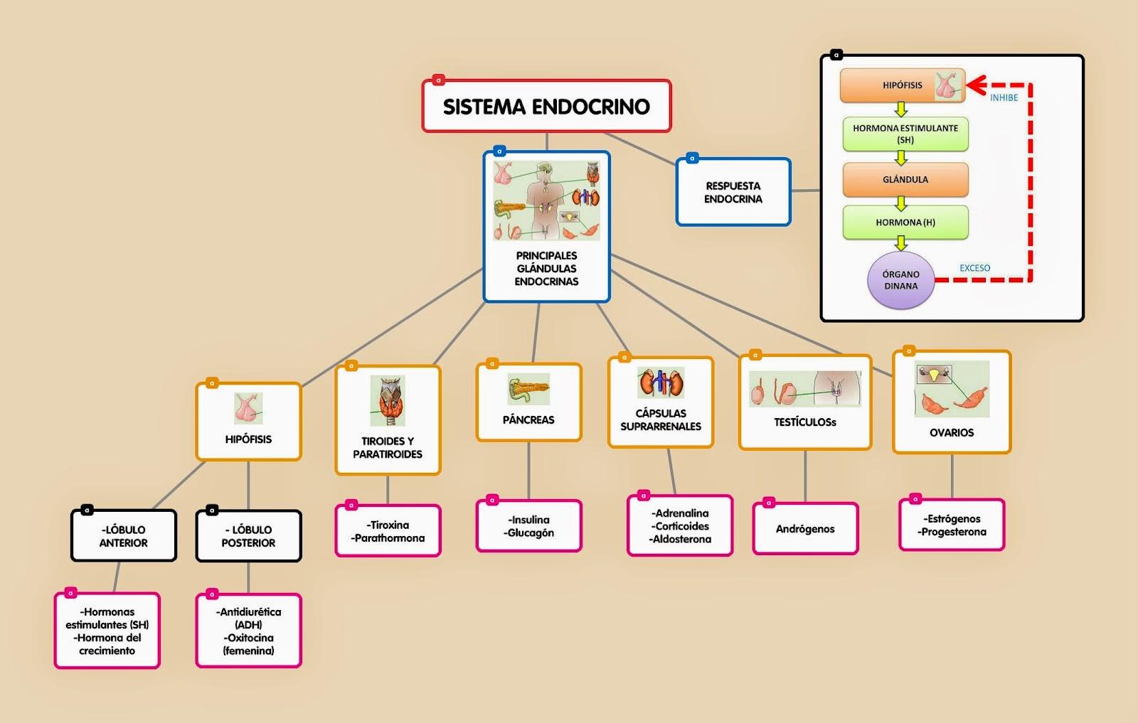 Ciencia, Tecnología y Ambiente en Santa Anita - 2°: Sistema Endocrino