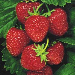 manfaat buah strobery, fungsi kegunaan buah strawberry untuk sesehatan, apa sih dampak positif makan stroberi