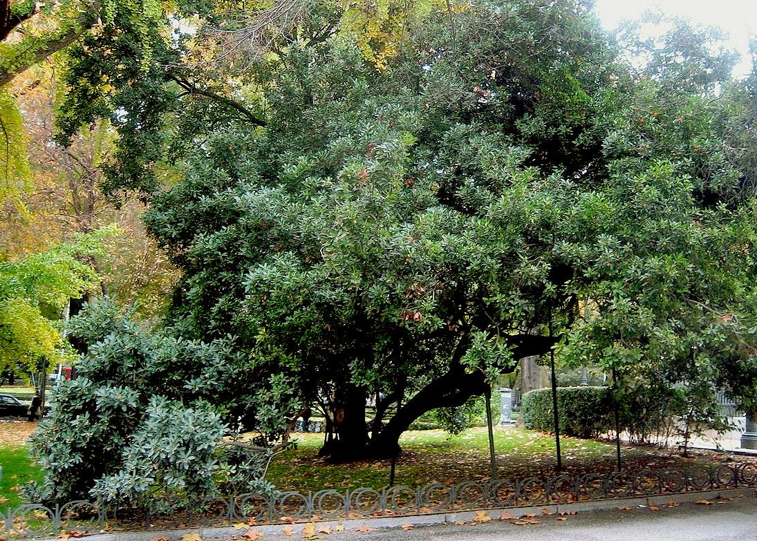 Rboles de espa a madro o rbol de la villa de madrid for Arboles de jardin fotos