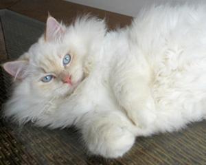 Gato da raça Ragdoll