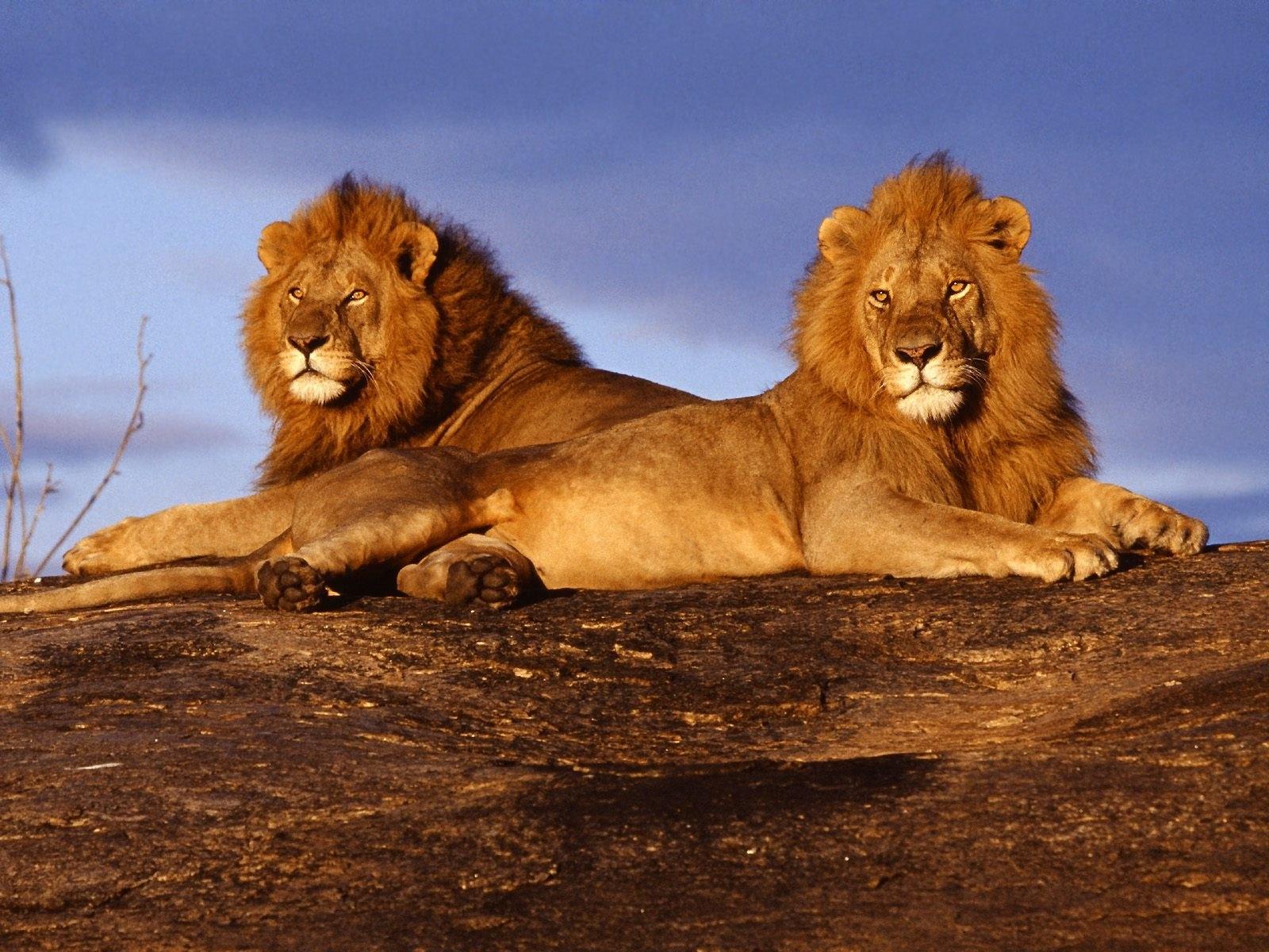 Imagenes de leones imagen leones descansando - Animales salvajes apareandose ...