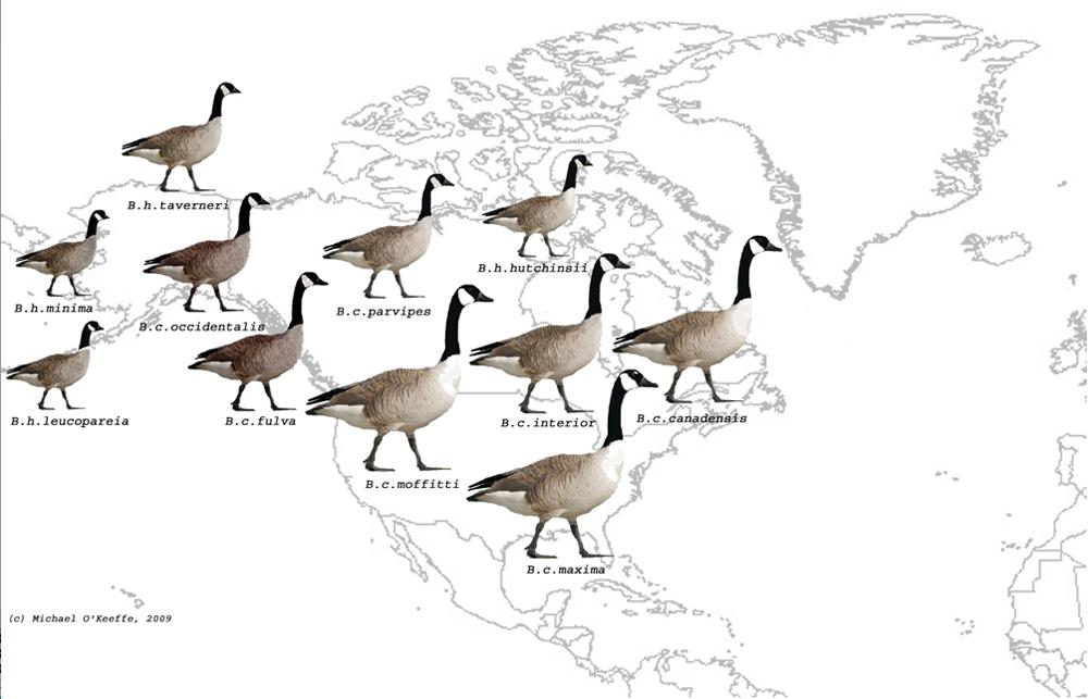 Canada Goose expedition parka replica price - Kerry Birding: Canada Goose, Cashen Estuary