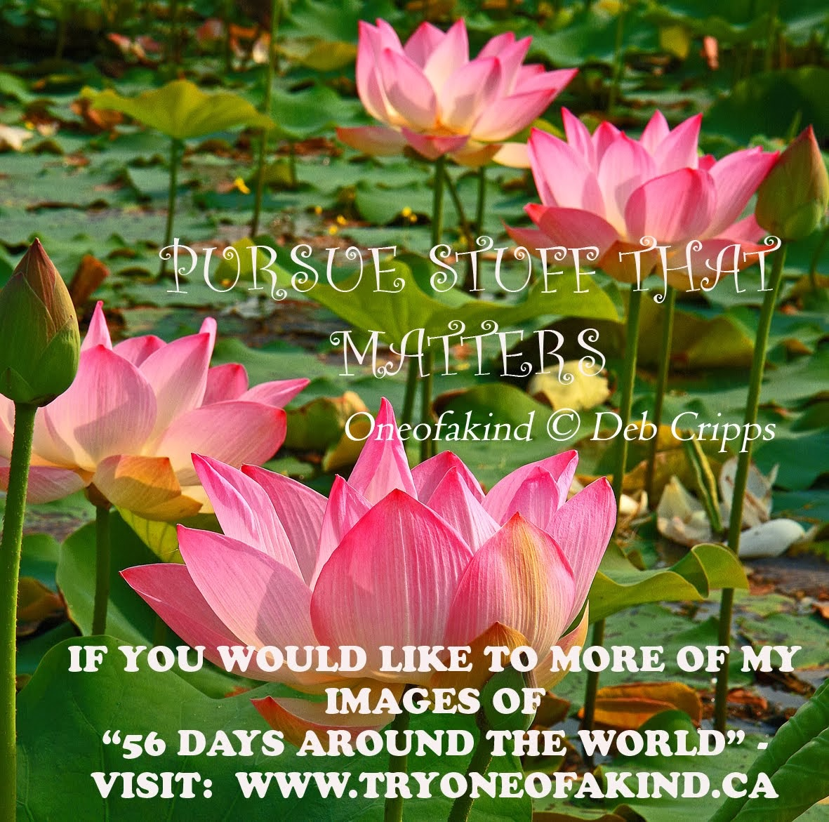 Cambodia Lotus