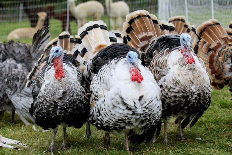 Sweetgrass turkeys at Litengård farm