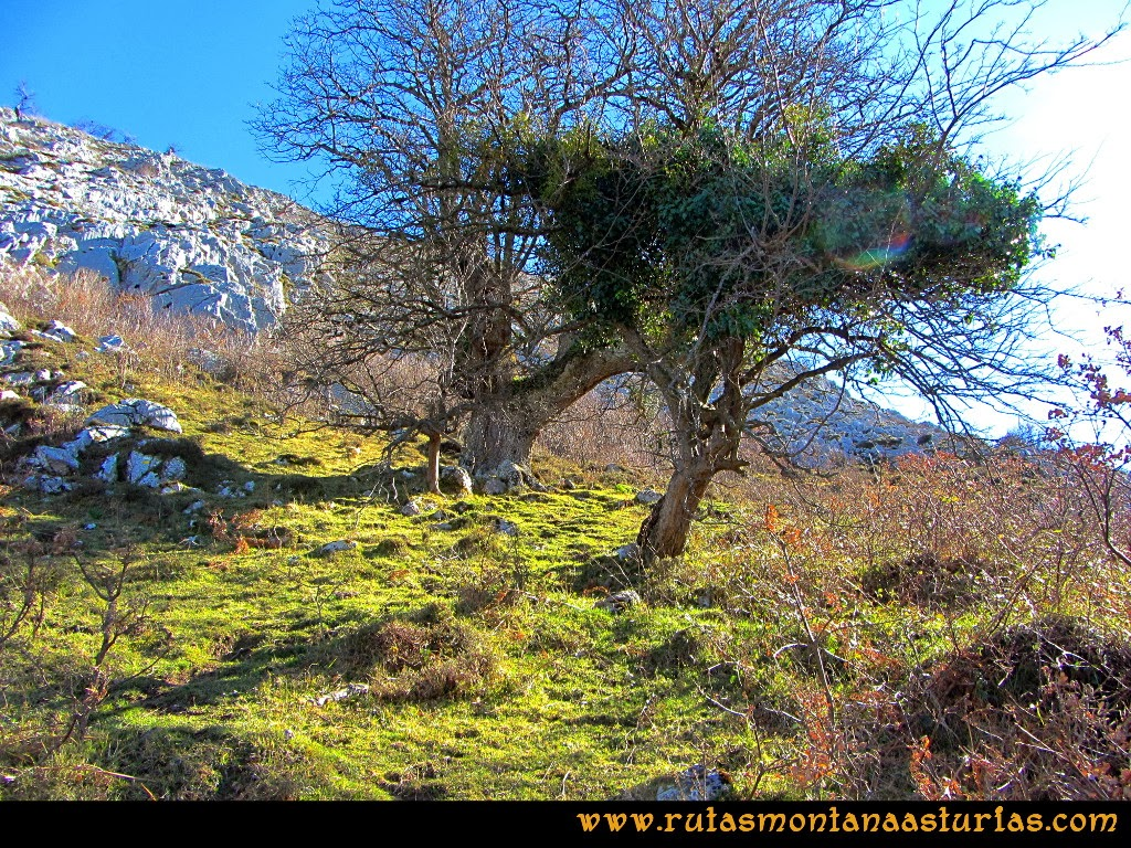 Rutas Montaña Asturias de las Pinturas Rupestres de Fresnedo: Árboles curiosos camino de Abrigos Rupestres