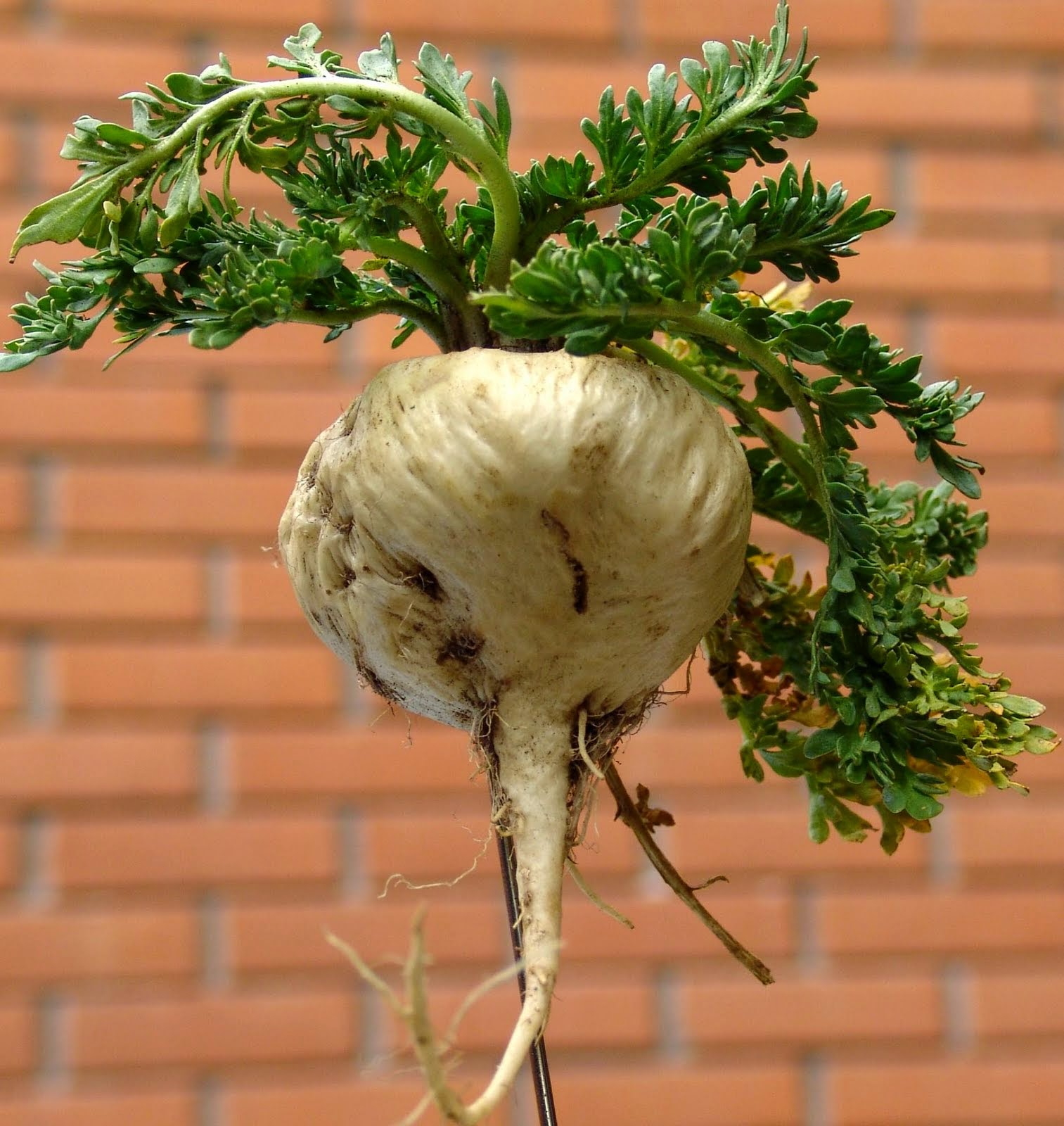 Maca (Lepidium Meyenii) Overview, Health Benefits, Side effects