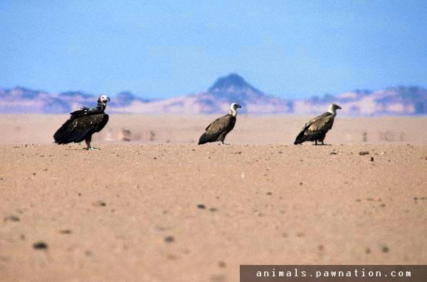 Burung Hering di padang pasir