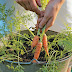 How to grow carrots in a container