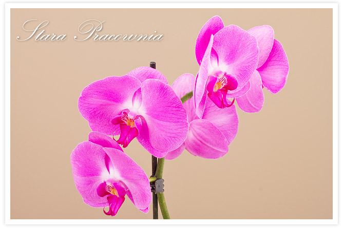 stara pracownia, storczyk, orchidea, rośliny pokojowe