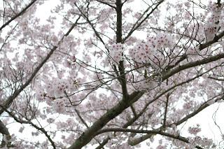 sakura,luruh,salji,summer,empat musim,bunga