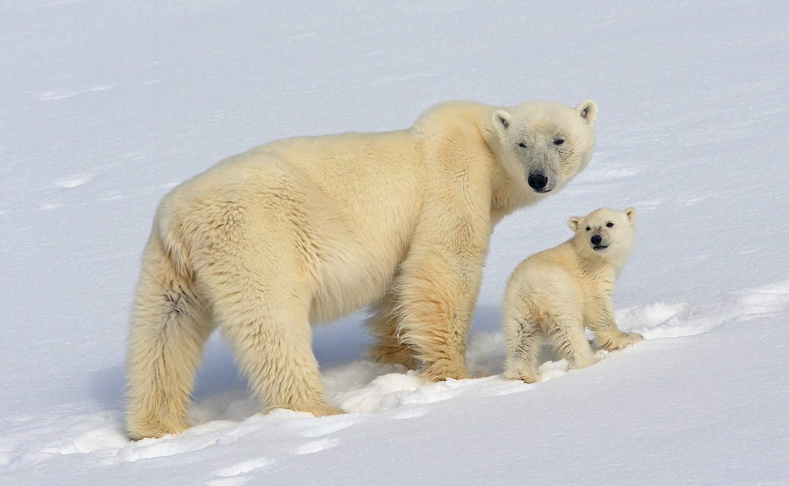 Polar bear without fur - photo#28