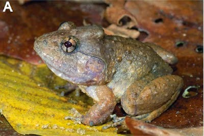 http://sciencythoughts.blogspot.co.uk/2014/11/breeding-behaviour-in-fanged-frog-from.html