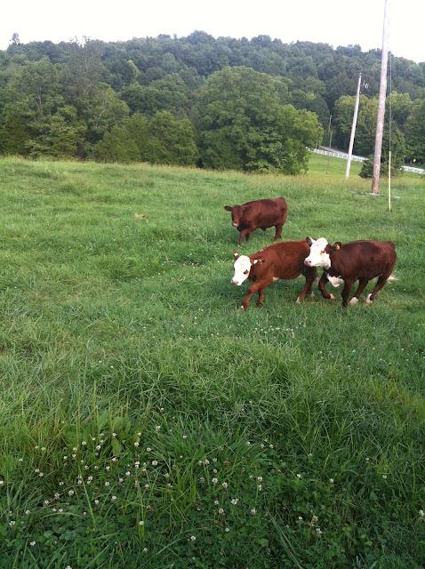 older calves in a field