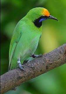 Habitat Burung Cucak Thailan (Cucak Hijau Kepala Kuning) Burung Endemik Sumatera, Kini Jadi Burung Spesies