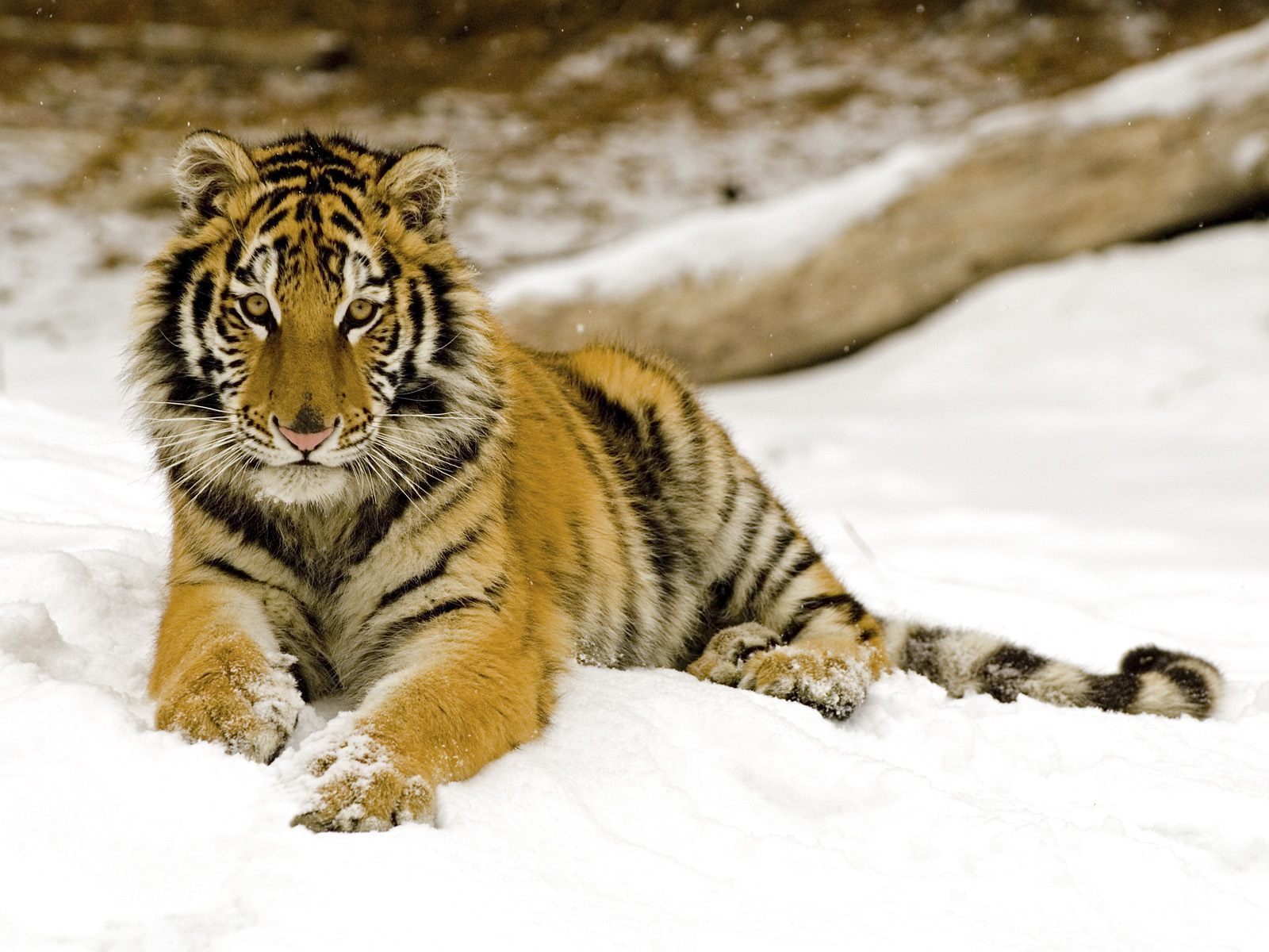 http://1.bp.blogspot.com/-hWbxkmjgvig/Tw3ibyHf9KI/AAAAAAAAJGU/fN1Q-_6p8UQ/s1600/The-best-top-desktop-tiger-wallpapers-hd-tiger-wallpaper-20.jpg