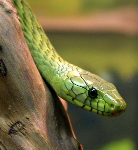 yellow mamba snake - photo #20