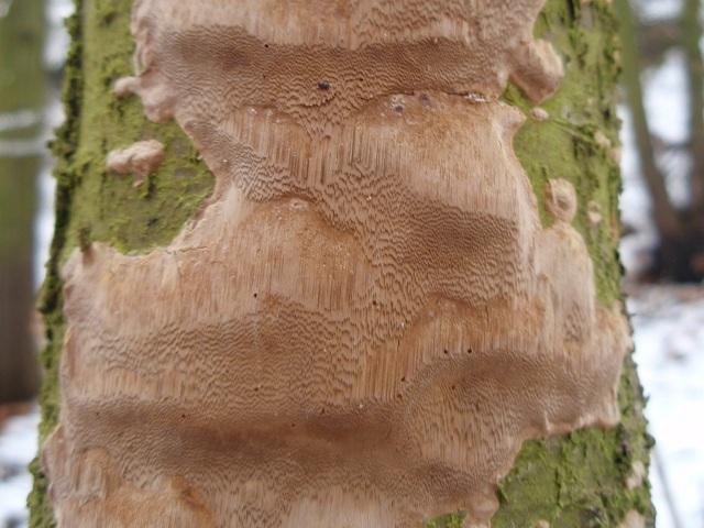 Phellinus punctatus