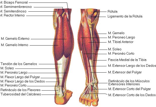 Imagen de los músculos de la Pierna