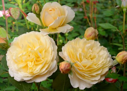 Charlotte rose сорт розы фото купить