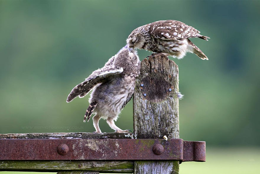 Cute Birds Kissing