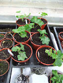 Newly arrived Geraniums