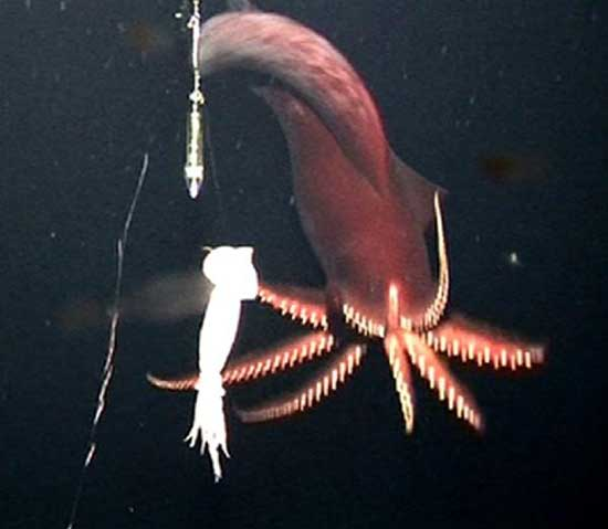 Rarest Marine Deep Sea Creatures Dana Octopus Squid