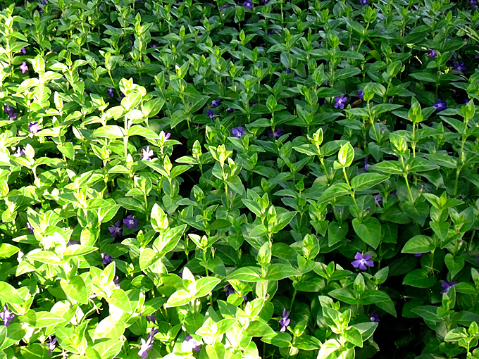 Hortus italicus vinca major l 1753 for Vinca major