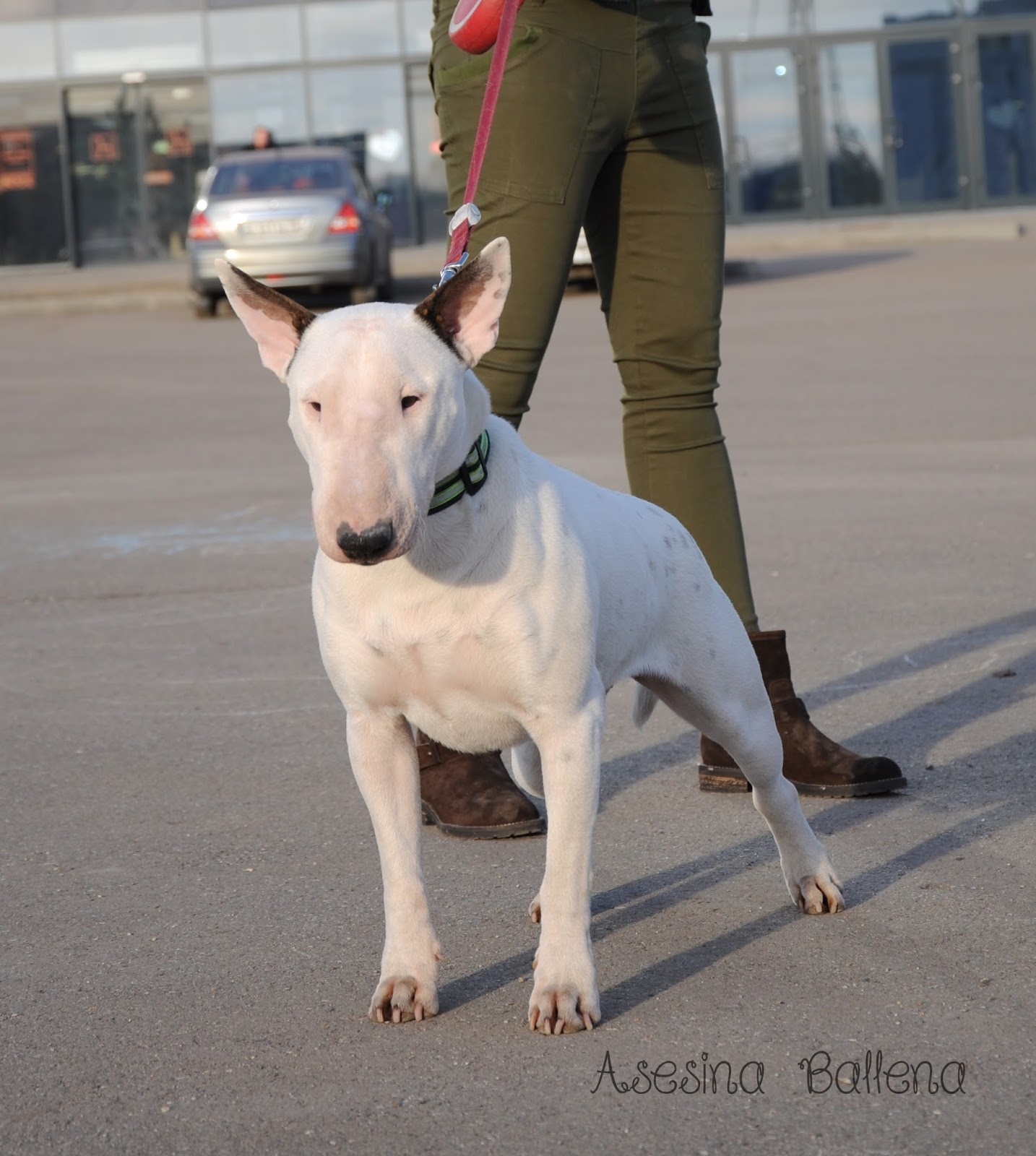 Daenerys Dastin Heart, ebt, english bull terrier, bullterrier, terrier, bullie, dog, female, white bullterrier, бультерьер, английский, стандартный, буль, белый