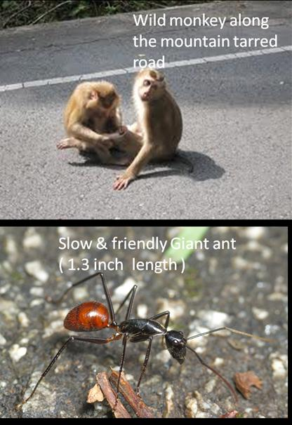 Munt Pulai - Moneky and Giant Ant