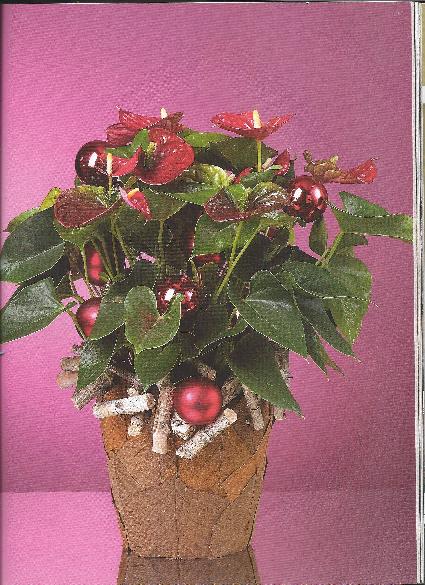 vivre feng shui bordeaux d corez les plantes pour les f tes un anthurium de no l. Black Bedroom Furniture Sets. Home Design Ideas