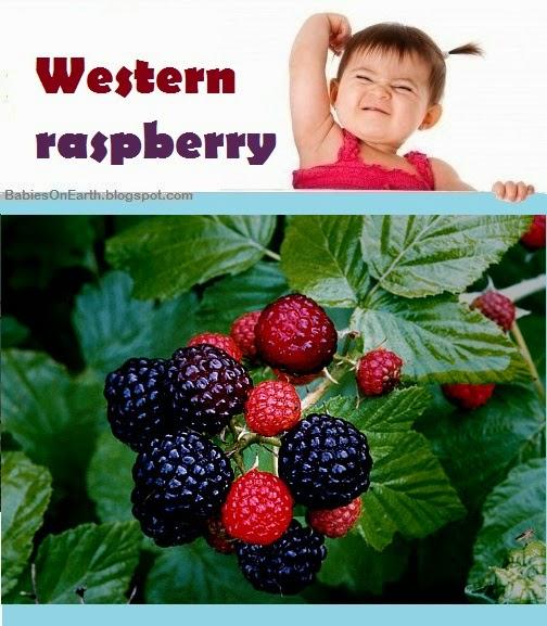 Baby Western Raspberry