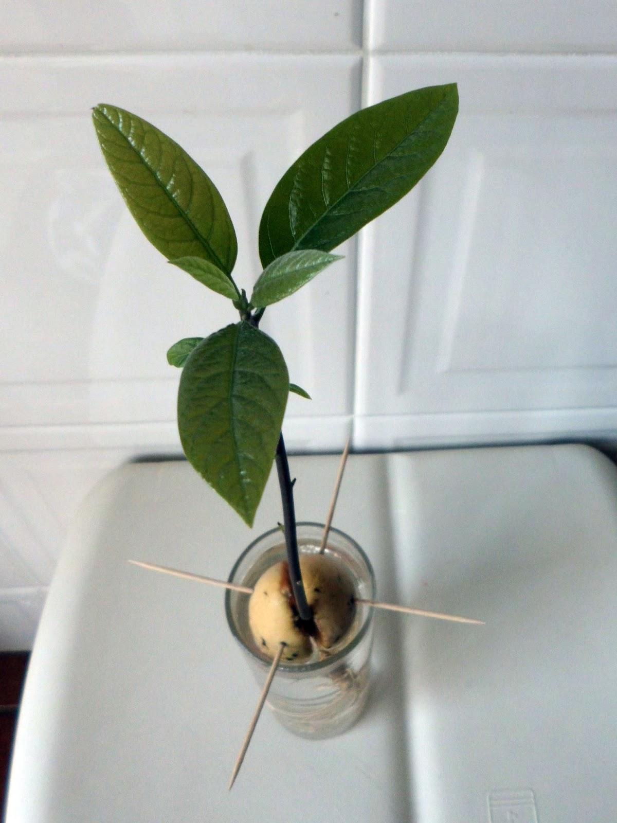 Preferência PALAVRAS CRUZADAS COM (quase) TUDO!: O caroço de abacate germinou  ST63