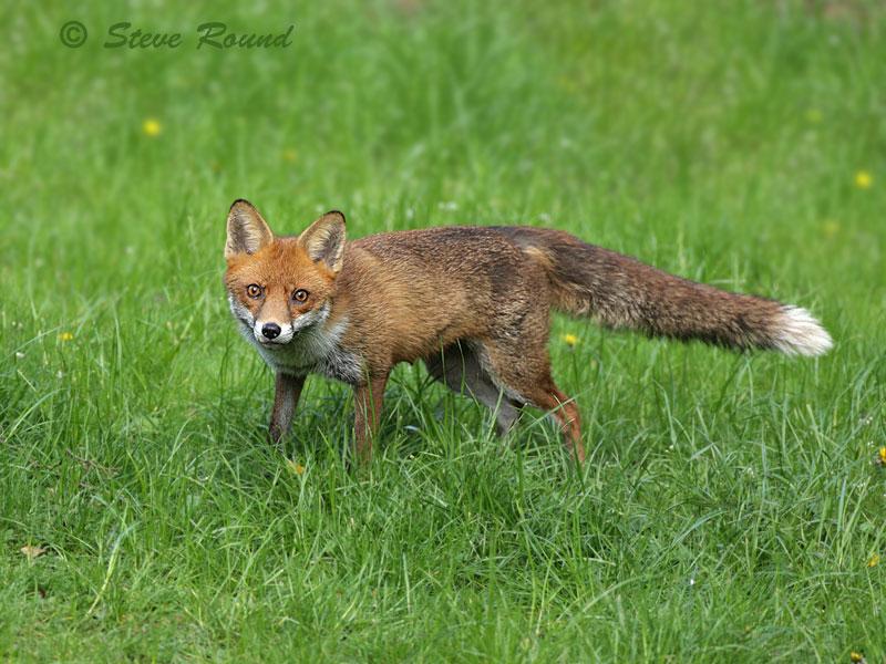 Red, Fox, mammal, animal, nature, wildlife