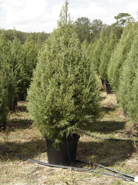 JeffCo Gardener: The Great Christmas Tree Conundrum: Real or Fake ...