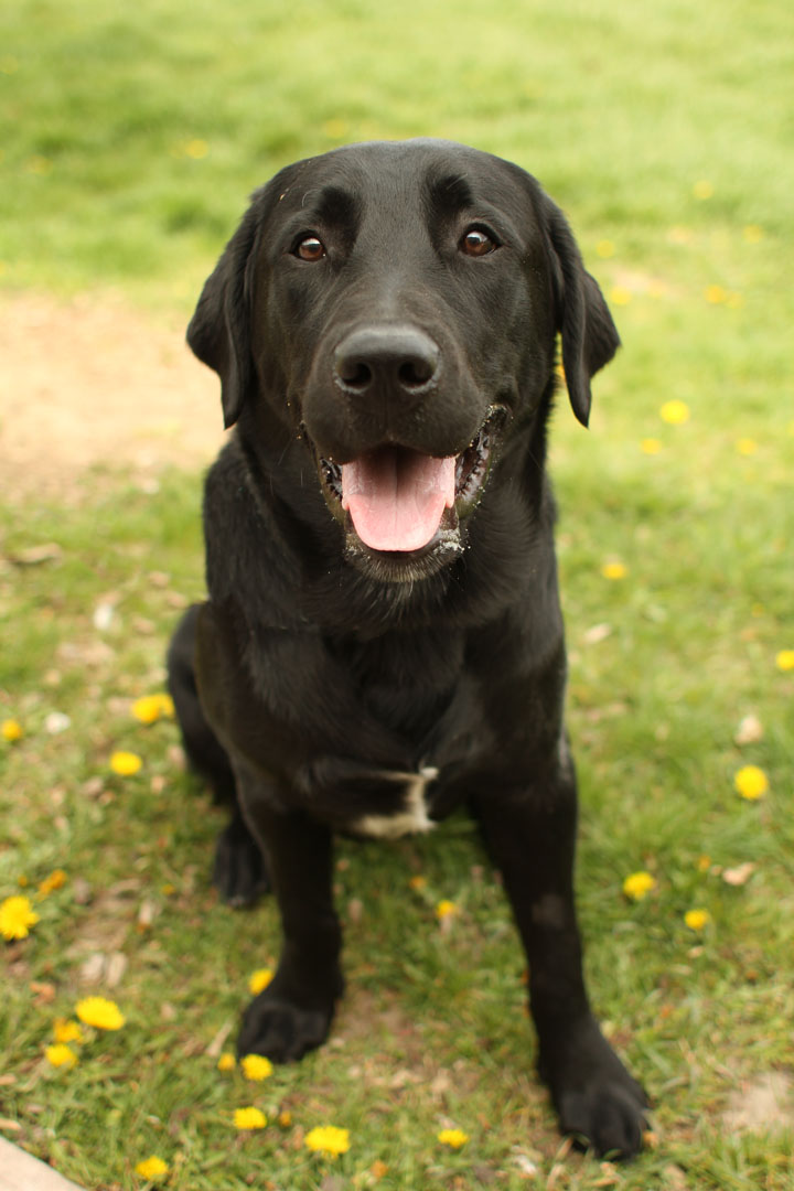 Tyson black labrador retriever