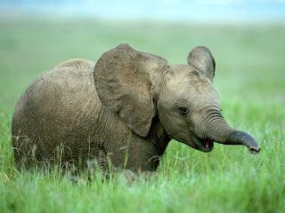 Un elefante baby