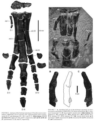 Eousdryosarus bones