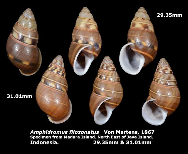 Amphidromus filozonatus 29.35-31.01mm